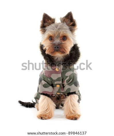 Portrait of a cute yorkshire terrier in  winter clothes - stock photo