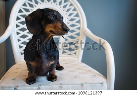 Portrait of a Dachshund