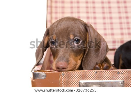 Portrait of a dachshund puppy in suitcase (isolated on white)