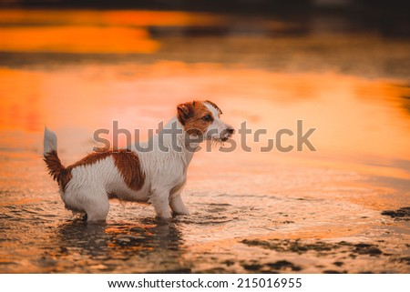 Portrait of a dog at sunset. In the water played - stock photo