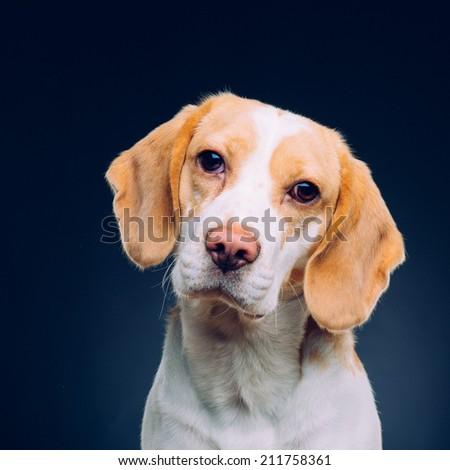 Portrait of a dog - beagle - stock photo