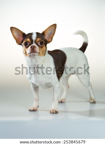 Portrait of a dog breed Chihuahua on a white background - stock photo