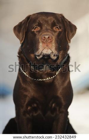 Portrait of a dog breed Labrador - stock photo