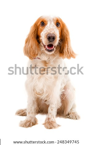 Portrait of a dog breed  Russian Spaniel  sitting isolated on white background - stock photo