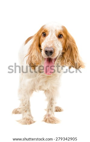 Portrait of a dog breed Russian Spaniel standing isolated on white background - stock photo