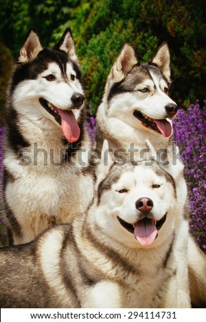 Portrait of a dog breed Siberian Husky. The dog on the background of blooming lavender. - stock photo