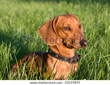 portrait of a dog in the rays of the setting sun - stock photo