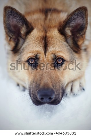 Portrait of a dog of breed sheep-dog lying on snow. - stock photo