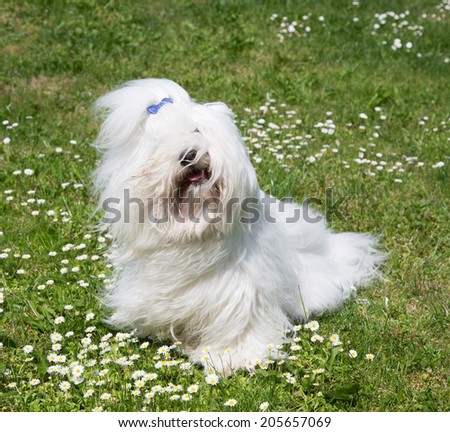 Portrait of a dog: Original Coton de Tulear. Funny pet with long white hair.