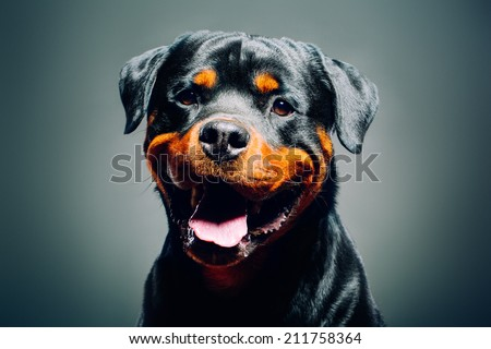 Portrait of a dog - rottweiler