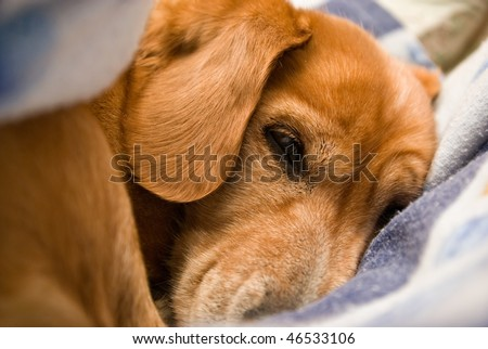 portrait of a dog sleeping between the sheets