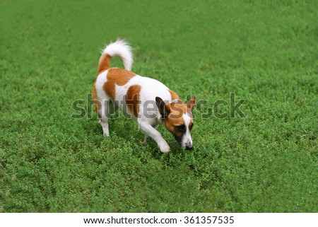 Portrait of a dog walking on the grass in the park