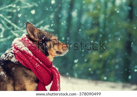 Portrait of a dog with knitted scarf tied around the neck walking iin blizzard n the forest  - stock photo