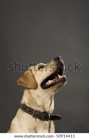 Portrait of a dog with open mouth - stock photo