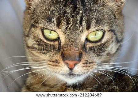 Portrait of a domestic cat. Close-up. - stock photo