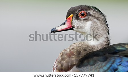 Portrait of a duck with room for text