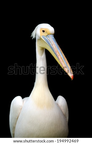Portrait of a European white pelican isolated on black background. - stock photo