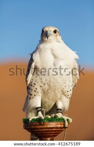 Portrait of a falcon in desert - stock photo