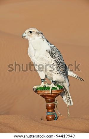 Portrait of a falcon or bird of prey in desert - stock photo