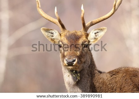 portrait of a fallow deer stag ( Dama dama, male )