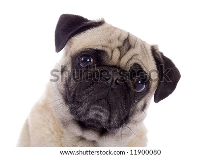 Portrait of a fawn colored Pug dog