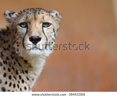 Portrait of a female cheetah 02 - stock photo