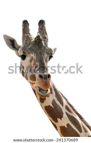 Portrait of a female giraffe - stock photo