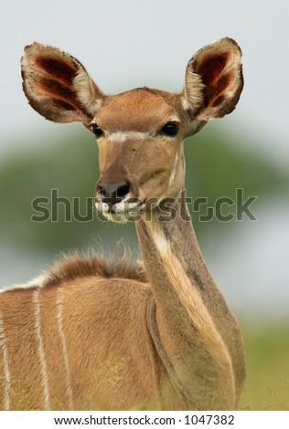 Portrait of a female Kudu antelope (Tragelaphus strepsiceros), Kruger National Park, South Africa