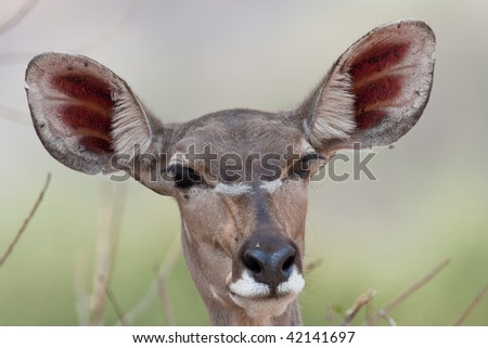 Portrait of a female Kudu in southern Africa. - stock photo