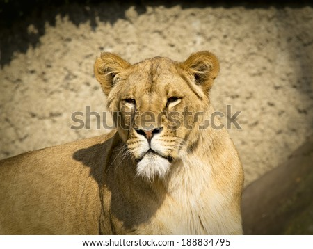 Portrait of a female lion against a quiet background, looking into the lens
