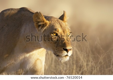 Portrait of a female lion in the grass of the Kgalagadi desert - stock photo
