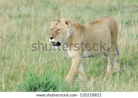 Portrait of a female lion, Masai Mara, Kenya