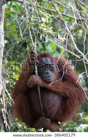 Portrait of a female orangutan in the national park on a tree in wild jungle. Indonesia. The island of Kalimantan (Borneo). An excellent illustration from close