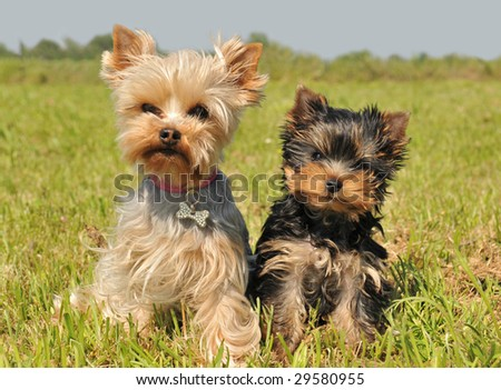 portrait of a female yorkshire terrier and her cute puppy - stock photo