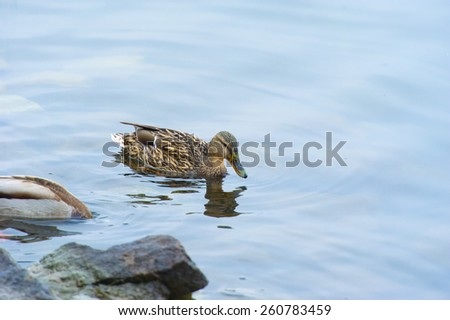 Portrait of a females of duck on the water - stock photo