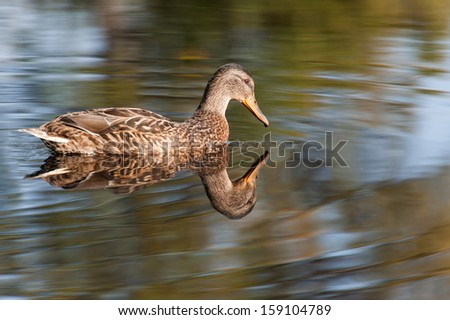 Portrait of a females of duck on the water, Nature background,   - stock photo
