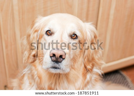 Portrait of a fluffy golden retriever