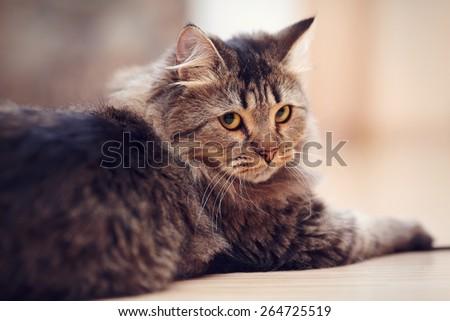 Portrait of a fluffy striped domestic cat. - stock photo