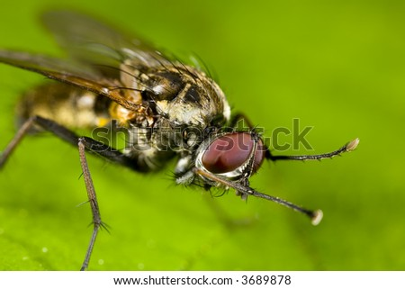 Portrait of a fly scratching itself - stock photo