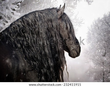 Portrait of a friesian horse (stallion) on the background of the winter forest - stock photo