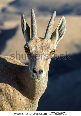 Portrait of a frightened nubian ibex (Capra nubiana) in Mizpe Ramon - Israel