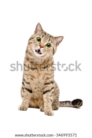 Portrait of a funny cat Scottish Straight with green eyes sitting isolated on white background - stock photo