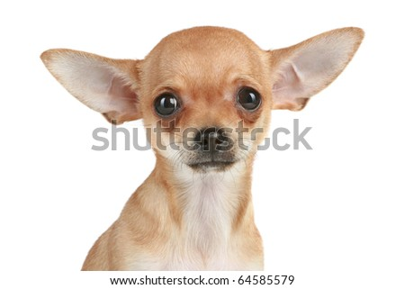 Portrait of a funny chihuahua puppy on a white background - stock photo