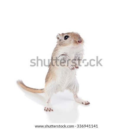 Portrait of a funny gergil standing isolated on a white background - stock photo