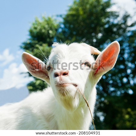 Portrait of a funny goat, close up - stock photo