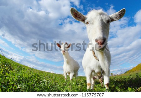 Portrait of a funny goats looking to a camera over blue sky background