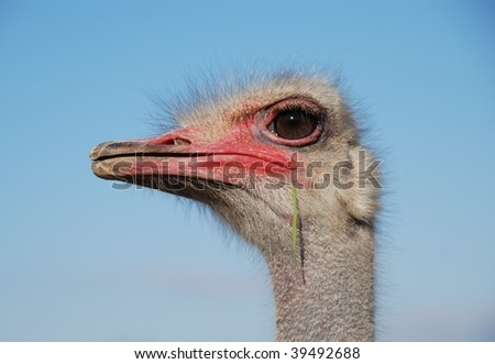 Portrait of a funny ostrich close-up