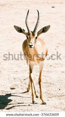 Portrait of a gazelle of full body - stock photo