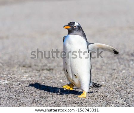Portrait of a gentoo (Pygoscelis papua) penguin in Antarctica - stock photo