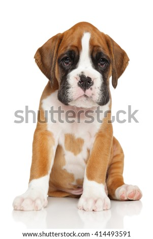 Portrait of a German Boxer puppy on white background